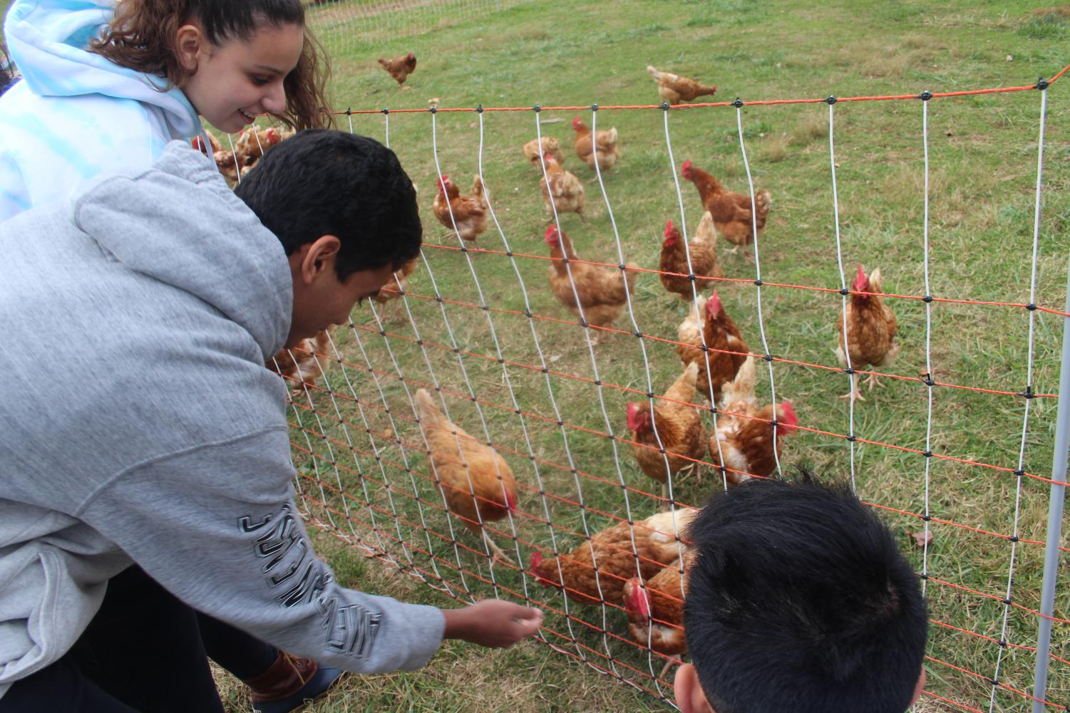 Zoe Hendricks (11), Ritvik Chennupati (11), and Franci Yang (11) feed Whitehall Farm chickens as Farmer Jeff discusses the process of cultivation (Photo by Colleen Sherry).